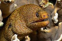Goldentail moray ( Gymnothorax miliaris) Bonaire