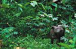 South American Tapir (Tapirus terrestris), Lago Agrio, Ecuador<br /> Canon EOS-1N<br /> Canon EF 600mm lens<br /> May 1998
