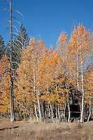"""Shack in the Aspen"" - This old shack and yellow aspen were photographed in the fall, near the Hwy 267 summit between Truckee and Lake Tahoe."