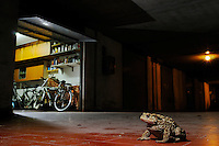 Common Toads (Bufo bufo) often live near human buildings, Europe.