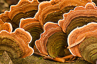 Polypore fungus Coriolus versicolor on a stump in Corkova Uvala virgin forest, Plitvice National Park, Croatia