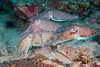 RA75244-D. Pharaoh Cuttlefish (Sepia pharaonis), three males courting one female. Dominant male in center draped overtop larger female below, tries to prevent competing males from mating with her. Philippines. Tropical Indo-West Pacific oceans.<br /> Photo Copyright &copy; Brandon Cole. All rights reserved worldwide.  www.brandoncole.com