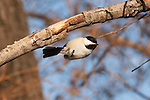 A Black-capped Chickadee mid-air near Lake Nokomis