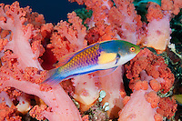 RA74839-D. Bluesided Fairy Wrasse (Cirrhilabrus cyanopleura), beautiful reef fish growning to 13cm long and found on reefs and seagrass beds to 35m deep. Philippines, tropical Indo-West Pacific oceans.<br /> Photo Copyright &copy; Brandon Cole. All rights reserved worldwide.  www.brandoncole.com