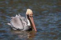 Brown Pelican feeding in shallow water
