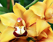 Asian Corsage Orchid<br />
