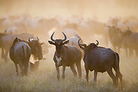White-bearded Gnu, or Wildebeast, Serengeti National Park, Tanzania, East Africa