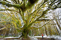 Secret Maple - Quinault River Basin/Olympic National Park - Washington State