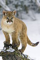 Puma kitten watching intently through the snow - CA