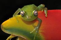 Polkadot Tree Frog, Spotted Emerald Glass Tree Frog (Hyla punctata)