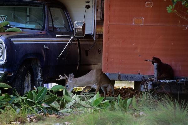 Key Deer Buck feeding between pickup and old trailer.  Big Pine Key in the Florida Keys.