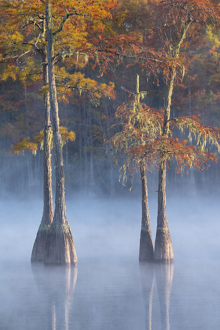 A duo of cypress trees bathed in fog and autumn color in the southeastern swamplands.