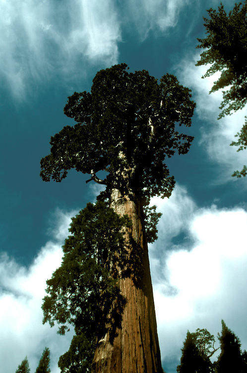 CA: Sequoia-Kings Canyon National Park, General Grant tree        .Photo Copyright: Lee Foster, lee@fostertravel.com, www.fostertravel.com, (510) 549-2202.Image: catree217