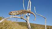 Robertson Dwarf Chameleon (Bradypodion gutturale), South Africa