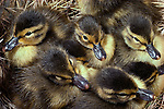 Blue-winged teal ducklings, Washington