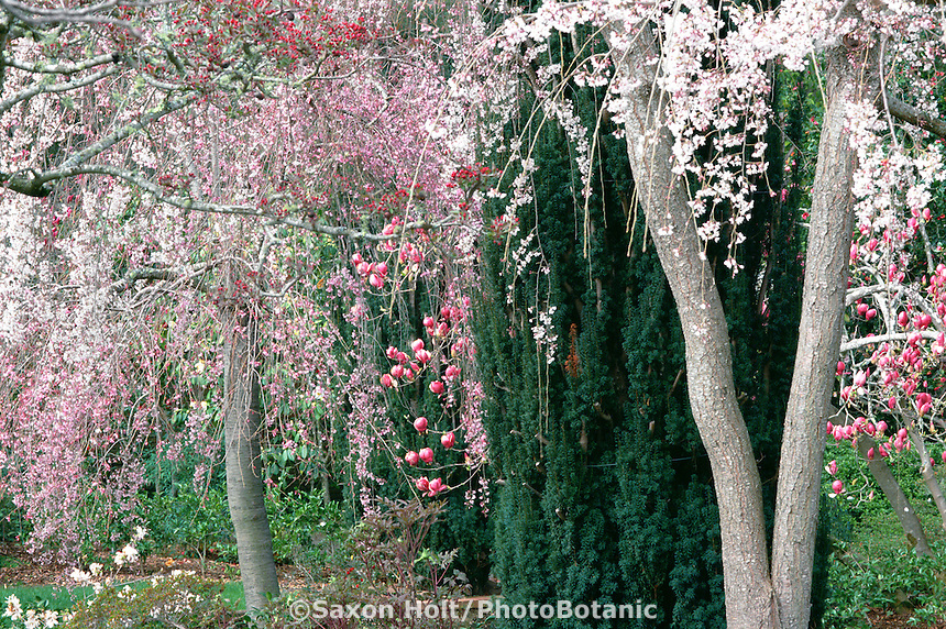 Spring Trees Tapestry, Filoli Garden, flowering cherry tree (Prunus), flowering Magnolia, evergreen Yew.