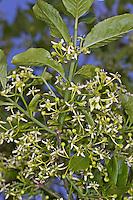 Europäisches Pfaffenhütchen, Blüten, Gewöhnlicher Spindelstrauch, Pfaffenkäppchen, Euonymus europaeus, common spindle, European spindle