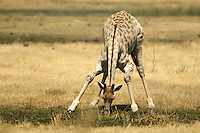 Grazing giraffe (giraffa camelopardis). Giraffes are browsers, eating from trees and bushes, and are seldom seen grazing.<br /> Moremi Wildlife Reserve, Botswana.<br /> September 2007.