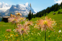 Alpine Avens Seed heads. Alpine summer meadow.  Bernese Alps.