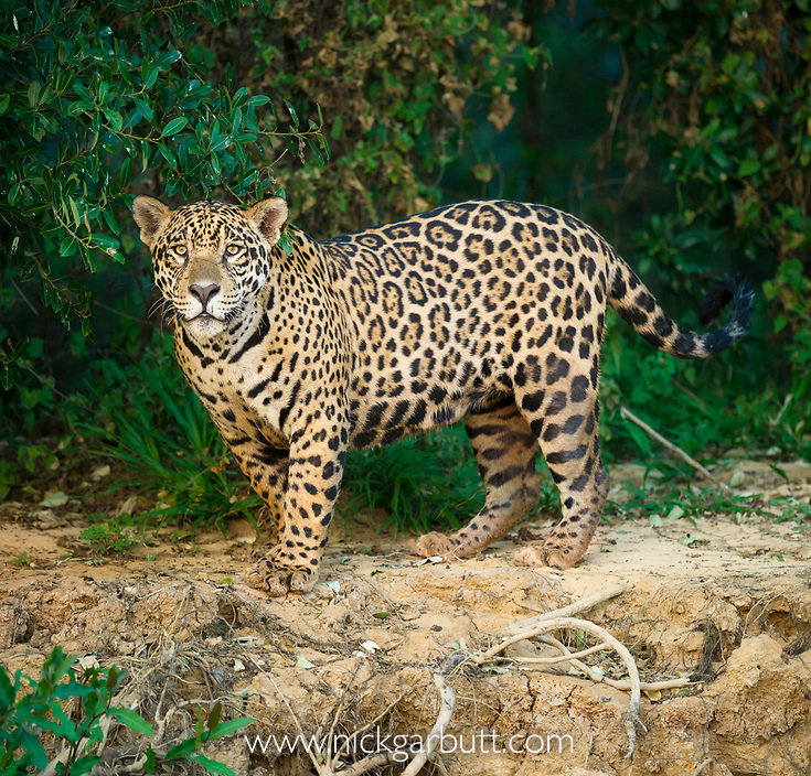 Wild male Jaguar (Panthera onca palustris) stalking along the bank of the Cuiaba River in late afternoon sun light. Northern Pantanal, Brazil.