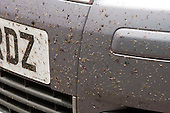 Dead flies on car front