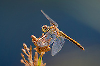 362700028 a wild juvenile male band-winged meadowhawk sympetrum semicintum perches on a small plant near bishop in inyo county california