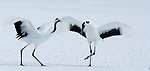 Red Crowned Crane, Grus japonensis, pair, dancing, displaying, wings open, Hokkaido Island, japanese, Asian, cranes, tancho, crested, white, black,  wilderness, wild, untamed, photography, ornithology, snow, calling.Japan....