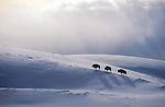 Bison trudge to the top of a ridge in Yellowstone National Park in search of forage exposed by the   wind.