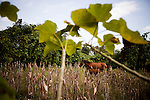 Horses wander through a small crop of corn, in Nueva Concepcion, Guatemala, on Wednesday, Nov. 2, 2011. The price of corn has risen 40% this year and the country faces inflation.