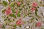 Snowberries