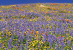 Hill covered in wildflowers, Los Angeles County, California
