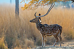 Chital or axis deer & rufous treepie, Ranthambore National Park, India