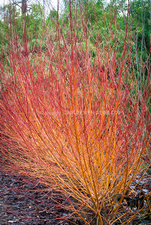 Cornus red-twigged dogwood in winter stems Cornus sanguinea Midwinter Fire