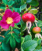 Rosa rugosa rose in flower and then also in rosehip fruits 'Rubra' at different seasons, summer and autumn fall, composite picture