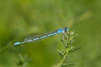 320240015 a wild male familiar bluet enellagma civile perches on a plant stem along warm springs road near bishop inyo county california united states