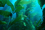 Kelp forest photograph, Macrocystis pyrifera, Southern California