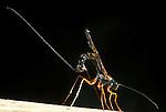 Ichneumon Fly, Rhyssa persuasoria, ovipositing, laying eggs .United Kingdom....
