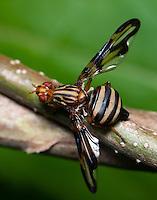 Picture-winged Fly (Idana marginata), West Harrison, Westchester County, New York