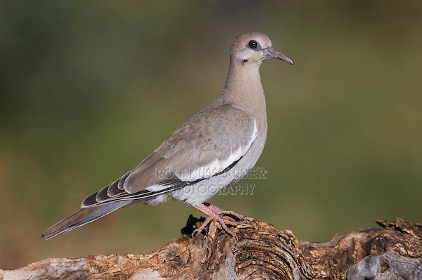 White-winged Dove, Zenaida asiatica, young on log,Tucson, Arizona, USA, September 2006