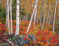 Split Rock Lighthouse SP, MN  <br /> White Birch (Betula papyrifera) forest in fall color