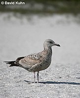 0104-1002  Herring Gull (2nd winter plumage), Larus argentatus  © David Kuhn/Dwight Kuhn Photography