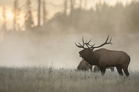 Bull elk during the autumn rut