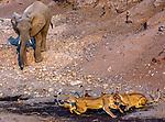 African elephant and lions, Mashatu Reserve, Botswana