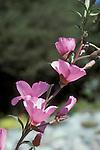 Ruby chalice clarkia, Clarkia rubicunda. Botanical Garden, University of California, Berkeley
