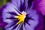 Santa Barbara, California, a detail view of a purple and yelllow pansy flower on an overcast spring morning