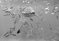 Gray Reef Sharks, Bikini Atoll, Marshall Islands