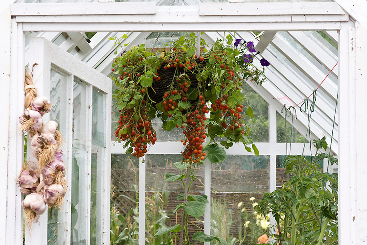 Greenhaouse tomatoes grown in a hanging basket. Growing Tastes Allotment Garden, RHS Hampton Court Flower Show 2009.