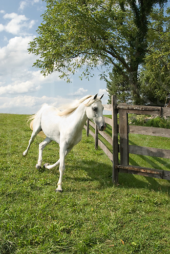 Picture of a white Arabian horse running downhill along a fence edge.