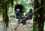Cryptid bipedal primates resting outside their cave, Washington