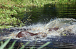 South America, Brazil, Pantanal. A Capybara, the world's largest rodent,  splashes into the waters of the Pantanal.